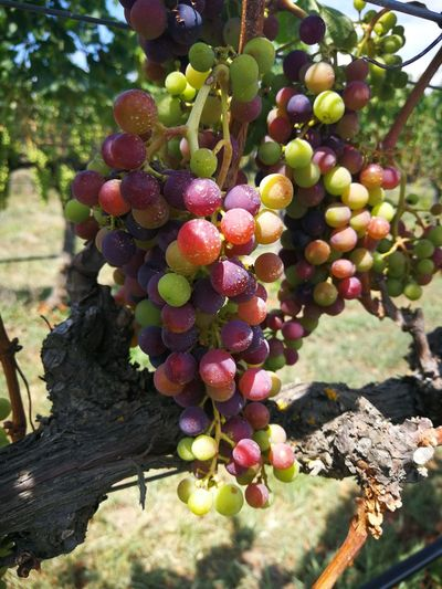 Check out the grapes reaching veraison just before harvest on a Hawke's Bay, NZ winery tour