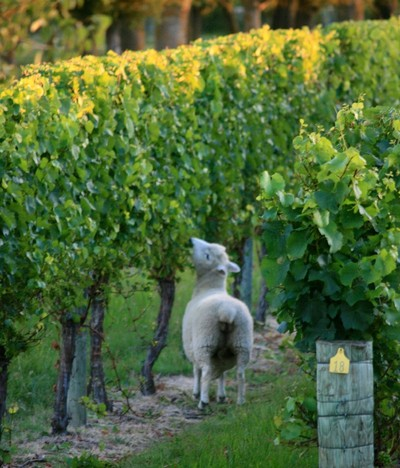 Sheep in the vineyard in Hawke's Bay, NZ, take care of the excess leaves, as seen on a winery tour